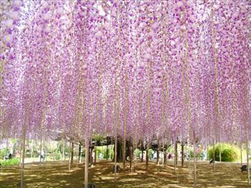 ≪新潟バスツアー/中下越発着≫あしかが花の楽園めぐり 日帰り 大藤棚と80メートルに渡って続く藤の花のトンネルをご覧いただけます