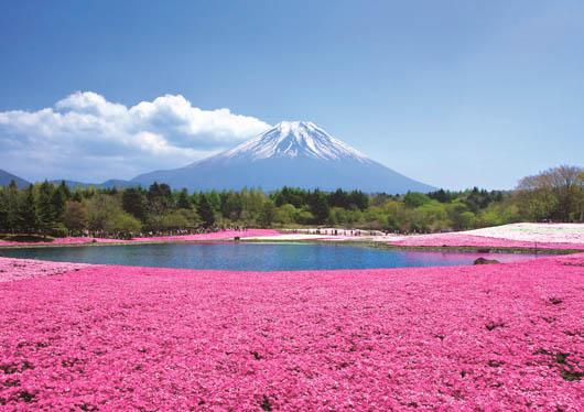 ★首都圏最大級!約80万株の芝桜♪富士芝桜まつり