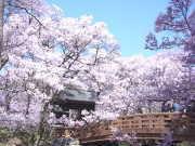 高遠桜(提供:伊那市観光協会)