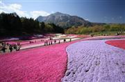 ◇ピンクの絨毯で春体感!