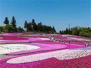 羊山公園 芝桜イメージ