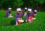 静岡といえばお茶!!春の茶畑でコスプレ体験!!