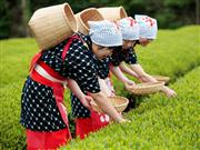 ◆静岡といえばお茶!春の茶畑でコスプレ体験♪
