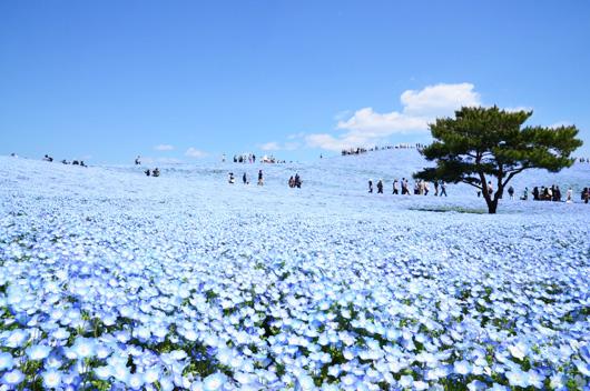 一生に一度はみたい!青の奇跡!約450万本のネモフィラ鑑賞