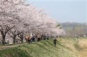余市川堤防桜並木