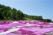 三島庭園芝桜