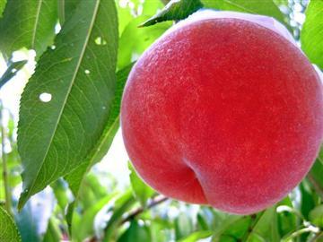 【京都発着】南信州桃狩り2玉体験と桃食べ放題<添乗員同行>