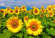 ☆夏の花!ひまわりに会いにゆきます!