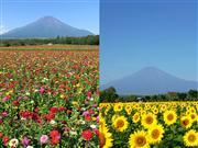 ★山中湖花の都公園