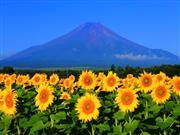 富士山を背景に約22万本のひまわり