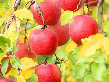 リンゴ狩りと大山高原 ヘルシージンギスカン