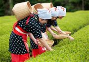 ◆静岡といえばお茶!!秋の茶畑でコスプレ体験!!