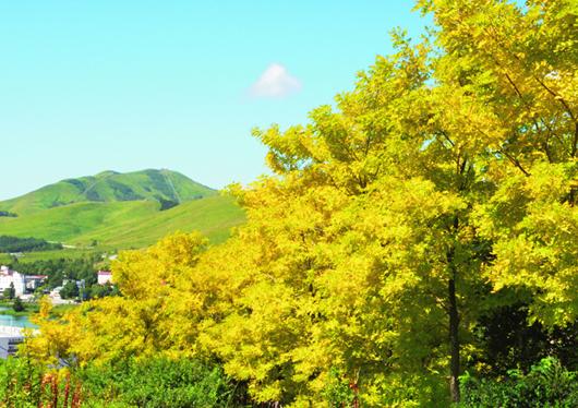 《黄金アカシアの丘》
