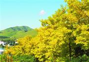 ★黄金アカシアの丘