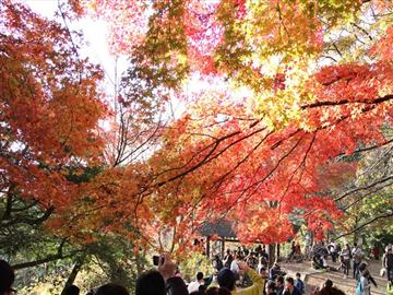 【神奈川県内・町田発着】紅葉の高尾山もみじ狩りハイキング<添乗員同行>