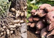 ◆秋の味覚!さつまいも&落花生のダブル収穫体験