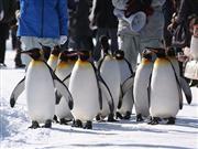 ペンギンのヨチヨチ歩き ※提供:旭川市観光課
