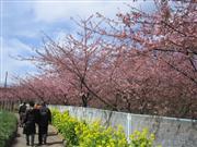 三浦海岸 河津桜 ※イメージ