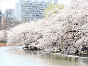 上野公園 桜 ※イメージ