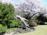 新宿御苑(桜) ※イメージ