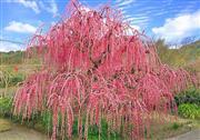 樹齢100年以上、樹高6mのしだれ紅梅 ※イメージ