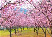 親水公園の河津桜 ※イメージ