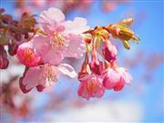 桜 ※イメージ