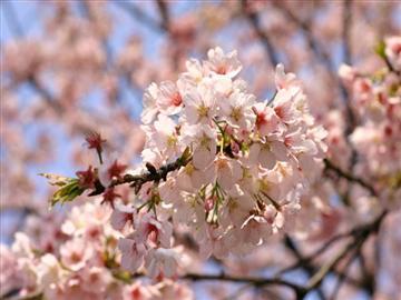 【千葉県内発着】桜舞う春の高尾山 お花見ハイク<添乗員同行>