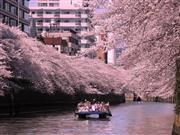 目黒川お花見クルーズ ※イメージです