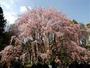 六義園の桜 ※イメージ