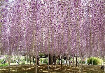 CNNが選ぶ世界の夢の旅行先 あしかがフラワーパークの藤棚とつつじ咲き誇る館林、芝桜の花畑〔立川・京王八王子発〕