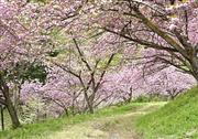 妙義山さくらの里(4月頃)下仁田町提供
