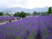 富士山とラベンダー 画像提供:富士河口湖町観光課 ※イメージ