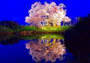 浅井の一本桜ライトアップ ※イメージ