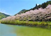 美しき赤穂山八天桜 ※イメージ