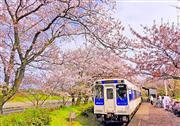 浦ノ崎駅の桜トンネル※イメージ