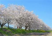 流川の千本桜並木 ※イメージ