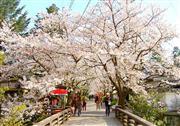 桜トンネルの秋月春まつり ※イメージ