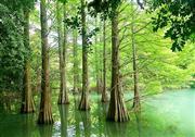 九大の森幻想のヌマスギ ※イメージ