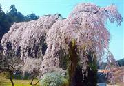 長登のしだれ一本桜 ※イメージ