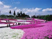 羊山公園 芝桜 ※イメージ 画像提供:秩父市観光課