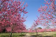 古河桃まつり ツアーでは3種のお花見ツアーとして見学します ※イメージ