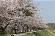 余市川堤防桜並木(イメージ)
