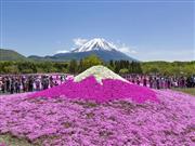 富士芝桜 ※イメージ 画像提供:富士急行株式会社