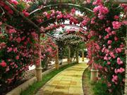 ハイジの村 バラ回廊 ※イメージ