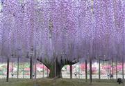 あしかがフラワーパーク:樹齢約150年の大藤を間近でご見学!   ※イメージ