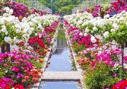 バラの世界的権威「アラン・メイアン」氏に「奇跡のような場所」と言わしめたバラ祭 (C)ハウステンボス※イメージ