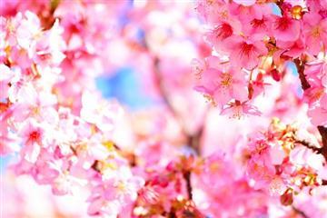 【岡山県内発着】春爛漫!!国営明石海峡公園の河津桜と菜の花咲くあわじ花さじき日帰り<添乗員同行>