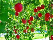 りんご狩り※イメージ