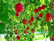 りんご狩り ※イメージ